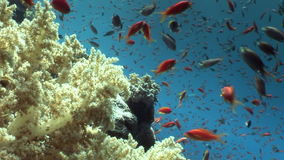 School of fish on background underwater landscape in Red sea. Swimming in world of colorful beautiful world of coral reefs and algae. Inhabitants in search of stock video