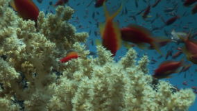 School of fish on background underwater landscape in Red sea. stock video footage