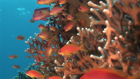 School of fish on background underwater landscape in Red sea. Swimming in world of unique colorful beautiful world of coral reefs and algae. Inhabitants in stock footage