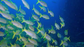 School of fish on background underwater landscape in sea of Galapagos Islands. School of fish on background underwater landscape in deep sea of Galapagos stock video footage