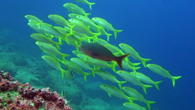 School of fish on background underwater landscape in sea of Galapagos Islands. Swimming in world of colorful beautiful wildlife of corals reefs. Inhabitants in stock video footage