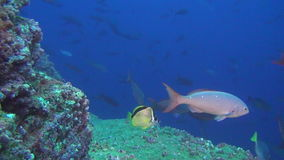 School of fish on background underwater landscape in sea of Galapagos Islands. stock footage