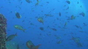 School of fish on background underwater landscape in sea of Galapagos Islands. stock video footage