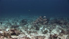 School of fish on background underwater landscape in sea of Maldives. stock video