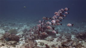 School of fish on background underwater landscape in sea of Maldives. stock video footage