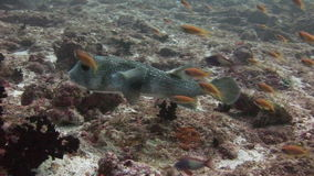 School of fish on background underwater landscape in sea of Maldives. Swimming in world of colorful beautiful wildlife of corals reefs. Inhabitants in search stock video