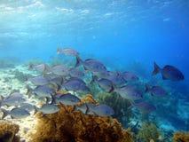 School of fish bermuda chubs. A school of fish called bermuda chubs on a caribbean reef royalty free stock image