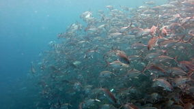 School of fish Bigeye Trevallies (Tursiops truncates) reefs Bali. The School of fish Bigeye Trevallies (Tursiops truncates) reefs Bali stock footage
