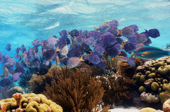 School of fish blue tang Stock Photography