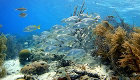School of fish. A school of fish called the sailors choice on a caribbean reef stock images