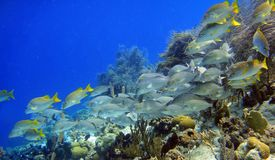 School of fish. A school of fish called the sailors choice on a caribbean reef royalty free stock photo