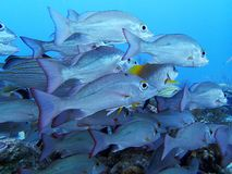 School of Fish on a Caribbean Reef. School of Tropical Fish on a Caribbean Coral Reef royalty free stock images