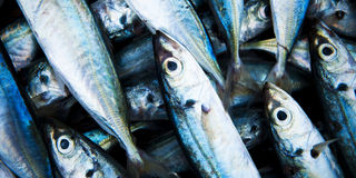 School Of Fish Caught Dead Freshness Concept Royalty Free Stock Image
