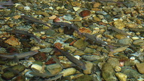 A school of fish stock footage