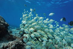 School of fish convict surgeonfish Pacific ocean Royalty Free Stock Photography
