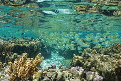 School of fish convict tang in shallow water Stock Photo