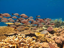School of fish and coral Barrier Reef Stock Image