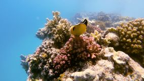 School of fish on coral garden in red sea, Egypt. School of fish with Blacktail butterflyfish on coral garden in red sea, Marsa Alam, Egypt stock video