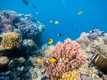 School of fish on coral garden in red sea, Egypt. School of fish with Blacktail butterflyfish and sailfin tang on coral garden in red sea, Marsa Alam, Egypt stock photos