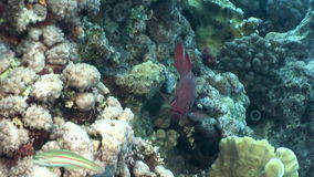 School of fish in corals underwater landscape in Red sea. stock video