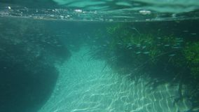 A school of fish dancing under the sea. A wide shot of a school of fish underwater swimming freely. The fishes are surrounded by mangroves and big rocks stock footage