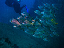 School of fish with diver Stock Photography