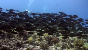 School of fish and diver underwater on background marine landscape in Red sea. Swimming in world of colorful beautiful wildlife of reefs and algae. Inhabitants stock video footage