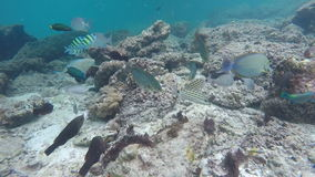 School of fish feeding among corals stock video footage