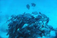 School of fish fish in Indian Ocean, Maldives. Stock Image