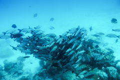 School of fish fish in Indian Ocean, Maldives. Royalty Free Stock Photo