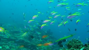School of fish glows on background of clear seabed underwater of Maldives. stock footage