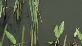 School of fish in green pond water with reed and stock footage