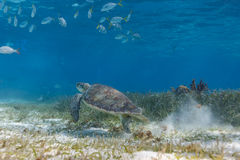 School of fish and green sea turtle swimming along ocean bed foraging for food. School of tropical fish and green sea turtle swimming slowly along ocean bed Stock Image