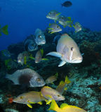School of Fish - Grunts and Snappers - Cozumel. Dogfish Snapper, Schoolmasters, and Black Margate Schooling over a Coral Reef - Cozumel, Mexico Royalty Free Stock Photo