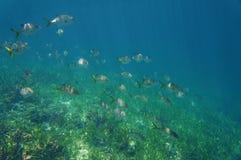 A school of fish horse-eye jack Caranx latus. A school of fish horse-eye jack, Caranx latus, above a grassy seabed, Caribbean sea, Central America, Panama Royalty Free Stock Image