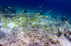 School of fish that includes trigger fish and yellowtail snapper Royalty Free Stock Photography