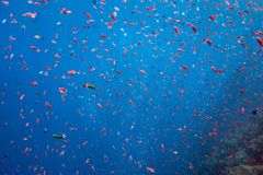 Ocean of Fish. A school of fish in Indonesia Stock Photography