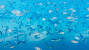 School of fish. In Kemer, Turkey royalty free stock image