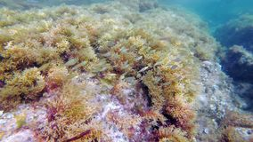 School of Fish: Sarpa salpa or dreamfish stock video footage