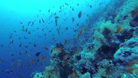 School of fish near the corals, Red Sea stock video