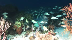 School of fish at night in the light of lantern. School of fish at night in the light of the lantern in Bahamas. Amazing, beautiful underwater world Bahamas and stock video