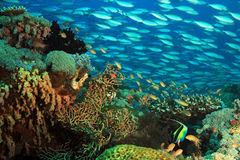 School of Fish over Coral Reef Royalty Free Stock Photo