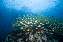 School of fish over a reef Royalty Free Stock Images