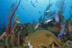 School of Fish Over a Tropical Coral Reef. School of Creole Wrasse (Clepticus parrae) Over a Tropical Coral Reef - Roatan, Honduras Stock Photos
