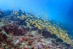 School of fish over a tropical reef. Shoal of Snapper on a tropical coral reef Stock Image