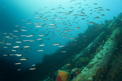A school of fish over a wreck. Inside a Aschool of fish over a ship wreck Royalty Free Stock Photography