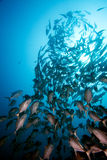 School of fish. In a pacific ocean, Palau,Micronesia stock image