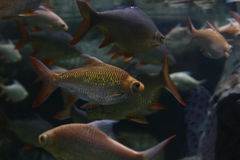 School of fish. In river Stock Image