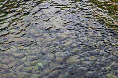 School of fish in river water Royalty Free Stock Image