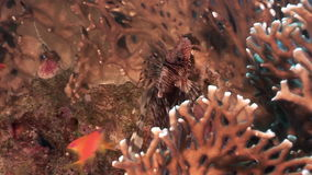 School of fish and scorpionfish on background underwater landscape in Red sea. Swimming in world of colorful beautiful world of coral reefs and algae stock footage